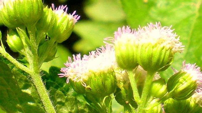 Dùng cây ngũ sắc chữa viêm xoang: Bài thuốc dân gian mà chữa dứt bệnh