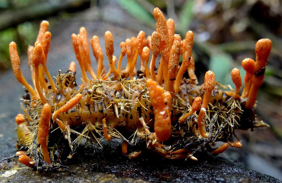 Đông trùng hạ thảo tự nhiên-Thaoduockhoe.com